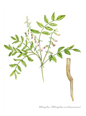 Astragalus for immune system improvement